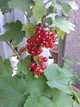 すっぱい実が食べたくて。 発収穫