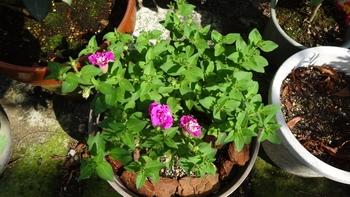 サフィニア 切り戻し後ふたたび開花