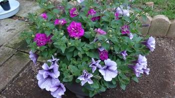 サフィニア いい感じに開花しはじめてます