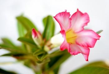 アデニウムを咲かせたい! もう一株も開花しました