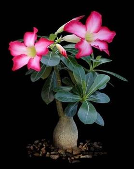 アデニウムを咲かせたい!