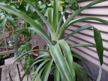 パイナップルを種から育ててみる 2015年8月