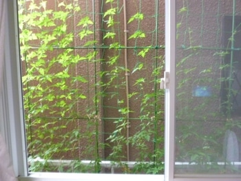 第2のグリーンカーテン カーテンらしく