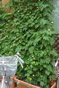 第2のグリーンカーテン