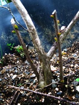 2010年秋に掘り上げた百日紅の再生 2011年5月1日の状態