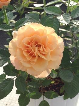 バラとの生活 オレンジです