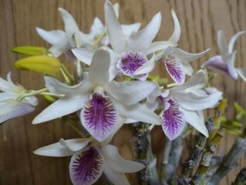 イエローチンサイマジカルカラー 開花です