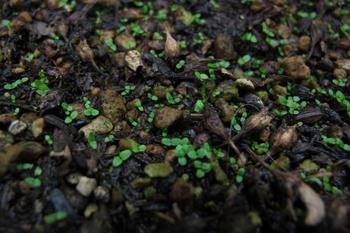 オリジナルアジサイを作る 芽が出た