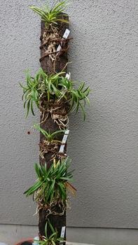 富貴蘭の栽培 ヘゴ棒付けしました。