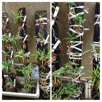 富貴蘭の栽培 縞、覆輪、豆葉品種のヘゴ付け