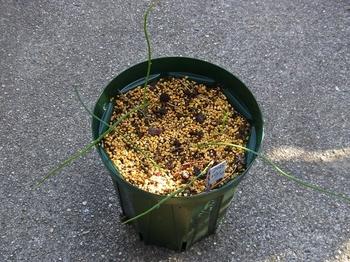 ラペイロウシア・ピラミダリス種から育てる すくすく生長