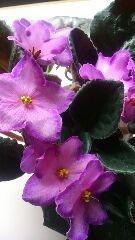 セントポーリアが咲いてます。 植え替えを重ねて、名無しになています。