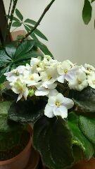 セントポーリアが咲いてます。