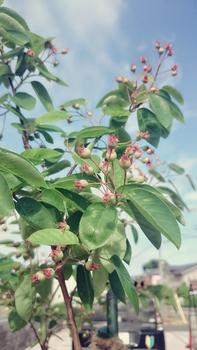 ぐりんりんの🌱お庭(ジューンベリー) 可愛い赤い実