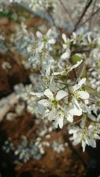 ぐりんりんの🌱お庭(ジューンベリー) とっても キュートな白い花です