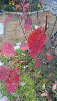 ぐりんりんの🌱お庭(ジューンベリー) 真っ赤に紅葉しています