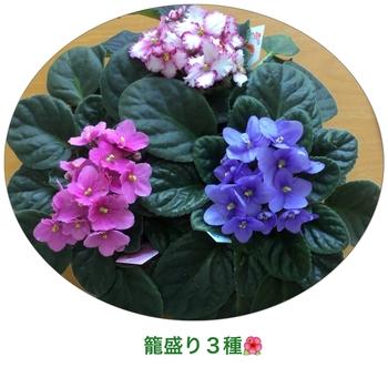 マナハウスのセントポーリア達 籠盛り3色♪( ´▽`)