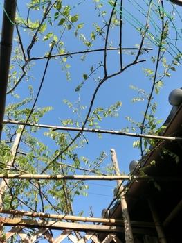 念願の9尺藤 花芽確認後の剪定