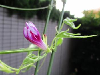 変化朝顔の栽培記録 細い葉の株から咲きました