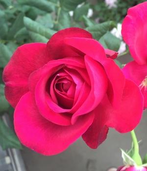 やり方 の の 薔薇 挿し木 挿し木のやり方|発根までの日数や確認方法は?発根のコツはなに?|🍀GreenSnap(グリーンスナップ)