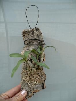 Den.bellatulum その2 コルクにつけました