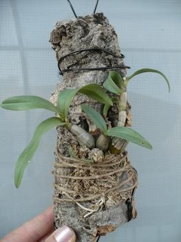 Den.bellatulum その2