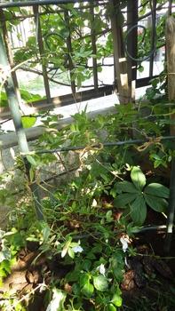 アーチのバラの仕立て直し モッコウバラを植えました