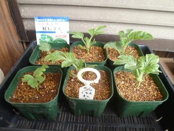 西瓜、空中栽培 4,23 1本立てで生育