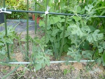 西瓜、空中栽培 西瓜もかなり大きく
