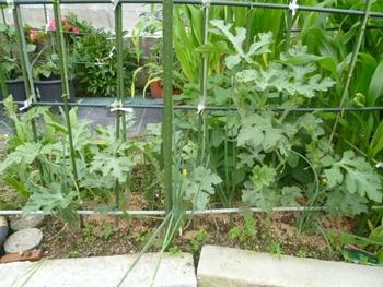 西瓜、空中栽培 地植え