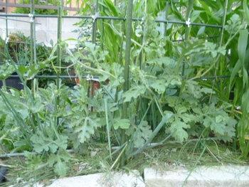 西瓜、空中栽培  6,3の画像