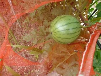 西瓜、空中栽培 大きく成る