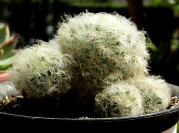 マミラリア「白星」の成長記録 春の植え替え