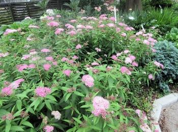 シモツケ、今年3度目が咲きました シモツケ一番花です