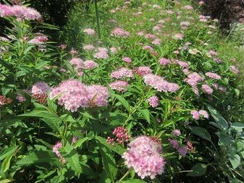 シモツケ、今年3度目が咲きました シモツケ二番花です