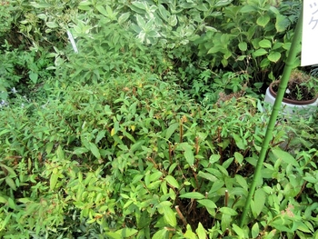 シモツケ、今年3度目が咲きました 剪定しました