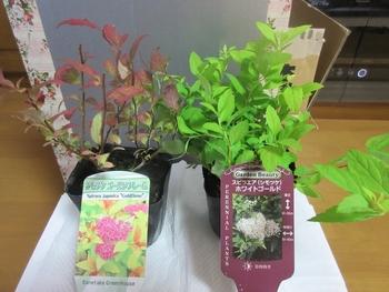 シモツケ、今年3度目が咲きました 白と赤、シモツケを2品種増やしました