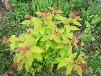 シモツケ、今年3度目が咲きました ゴールドフレームは芽出しも赤みを帯びて