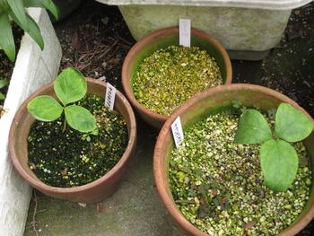 実生の山芍薬 今年発芽の山芍薬