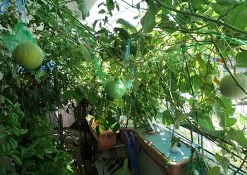 栽培 ころ たん ころたん(ミニネットメロン)栽培☆収穫時期のタイミング・判断方法