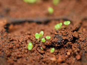 メセン系の種まき もう芽が出てきました