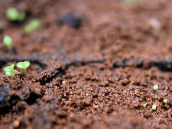 メセン系の種まき 続々発芽しています
