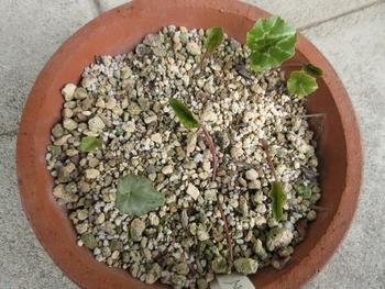 気長に原種シクラメン(ヘデリフォリウム) 葉っぱ