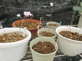 気長に原種シクラメン(ヘデリフォリウム) 白花も咲きました。