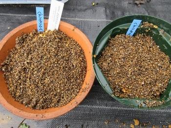 気長に原種シクラメン(ヘデリフォリウム) 覆土