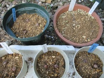 気長に原種シクラメン(ヘデリフォリウム) 植えつけ