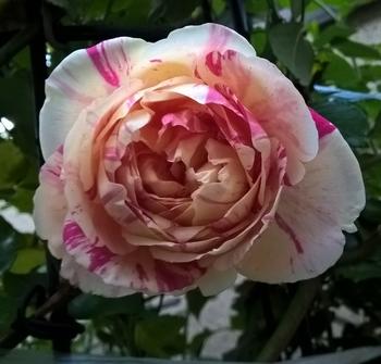 つるばら:エドゥアールマネ 2016年春~ 2017年11月1日 秋バラ1輪