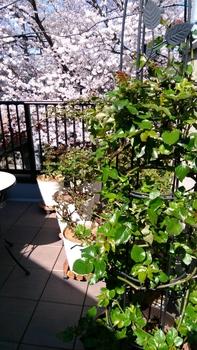 つるばら:エドゥアールマネ 2016年春~ 2018年3月25日 モリモリ成長