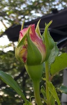 つるばら:エドゥアールマネ 2016年春~ 花色をのぞかせてます