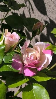 つるばら:エドゥアールマネ 2016年春~ 子供の日に開花しました